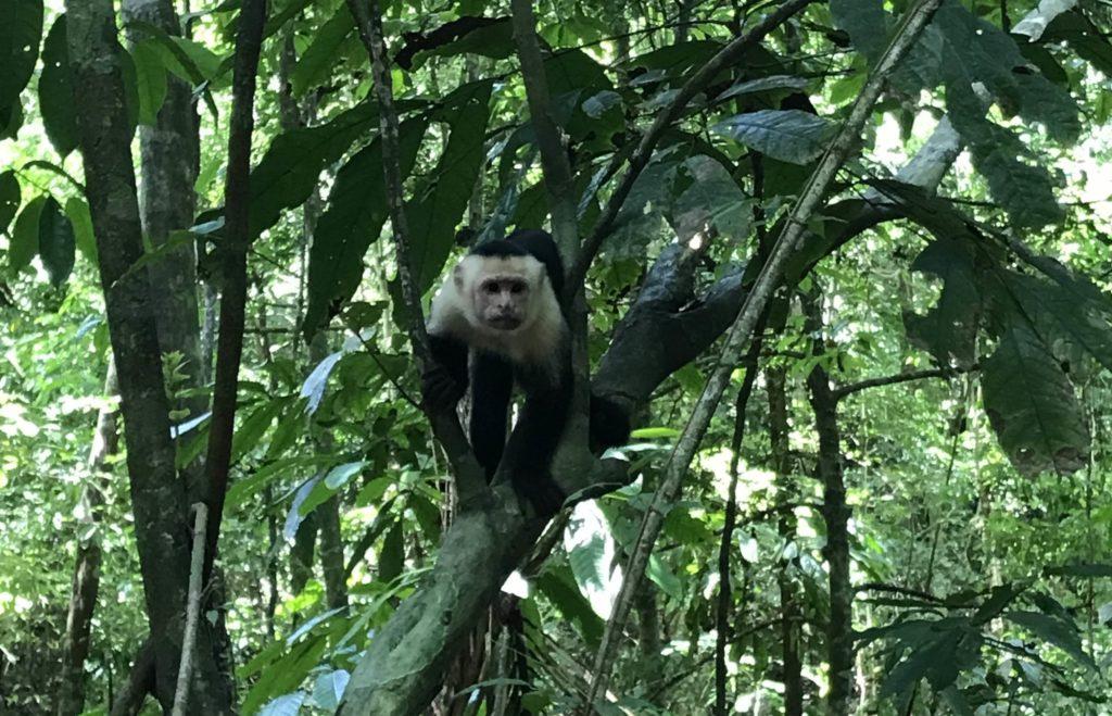 Mono - Costa Rica